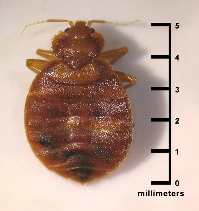 Adult Bedbug with scale for actual size