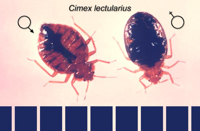 male and female bed bugs picture