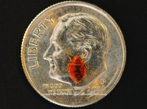 Adult Bed Bug on a Dime