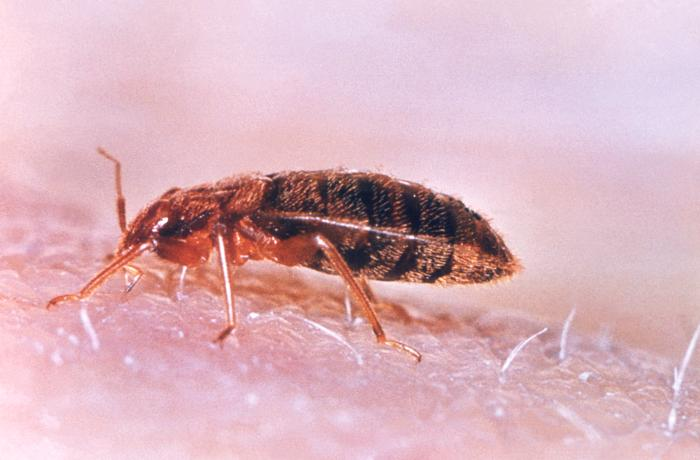 partly engorged bed bug closeup
