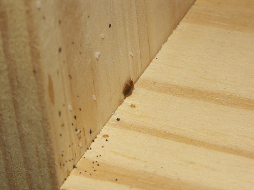 bedbug eggs,nymphs and feces on a wood shelf
