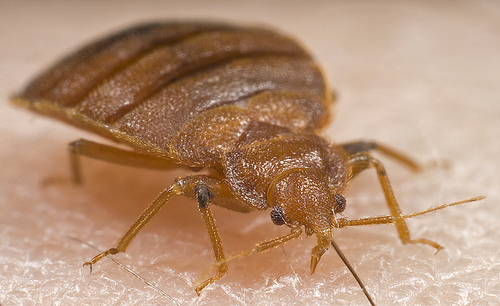 bed bug compared to other insects