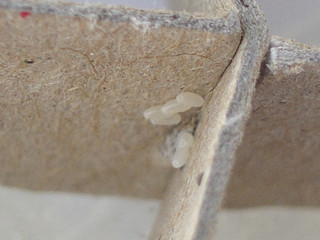bed bug eggs on cardboard