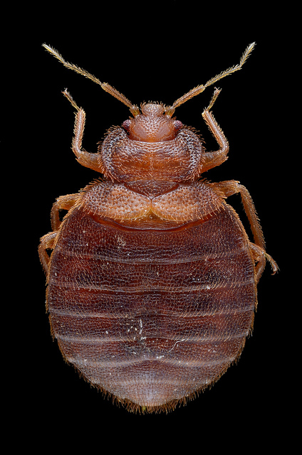 adult bed bug - unfed