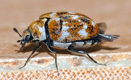 variegated carpet beetle