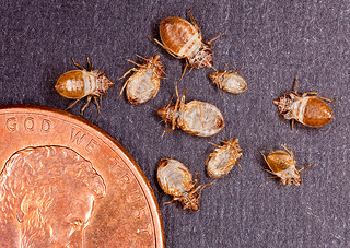 shed bed bug skins - next to penny to show actual size